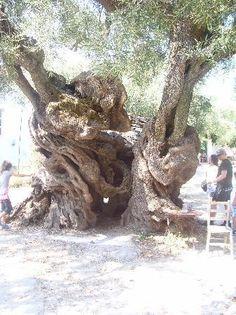 Cyprus Olive Trees estimated age 2050