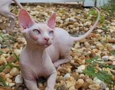 Sphynx Donskoy Cats Kittens, NADA Sphynx, Devon Rex, Lykoi, Donskoy, Sphinx…