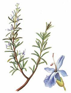 Plantas aromáticas « Herbario de Plantas de Jardin
