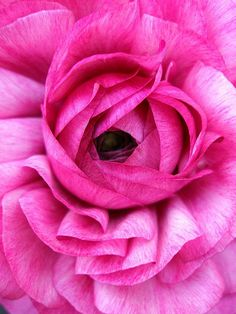 Pink Ranunculus Flower by tanakawho