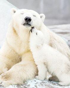 A perfect love: Polar bear Gerda, six, cuddles up with her cub at Novosibirsk Zoo in Russia Mundo Animal, My Animal, Nature Animals, Animals And Pets, Wild Animals, Cute Baby Animals, Funny Animals, Baby Polar Bears, Bear Cubs