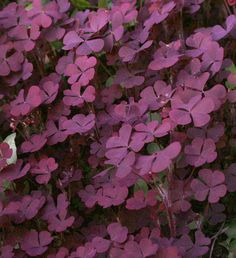 Oxalis fontana Shamrock Plant, Purple Shamrock, Wood Sorrel, Irish Blessing, Black Flowers, My Secret Garden, Celtic Designs, Shade Plants, Plant Decor