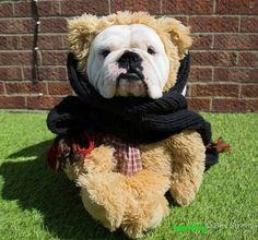 Teddy bulldog