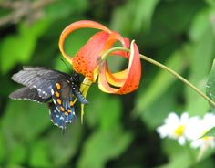 lovely swallowtail on a turk's cap lily <3