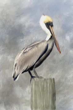 Pelican Metal Print by Renee Skiba. All metal prints are professionally printed, packaged, and shipped within 3 - 4 business days and delivered ready-to-hang on your wall. Choose from multiple sizes and mounting options. Pelican Drawing, Pelican Art, Color Pencil Art, Watercolor Bird, Sea Birds, Wildlife Art, Beach Art, Pictures To Paint, Animal Paintings