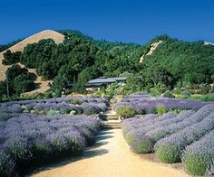 Santa Rosa, California, Matanzas Creek Winery. Another view of the outside gardens.