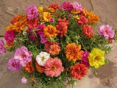One of my all-time favorites, Portulaca, works in hot sun and is a very bright non-stop flowering plant. Although it's an annual in Ohio, it's worth the show to plant it each year. It doesn't need deadheading, but is fun to do and keeps the plants looking fresh. Lots of color!