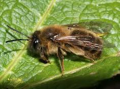 Andrena carantonica (female) -  A very dark mining bee. Some ochreous brown facial hairs but face is black mainly. Thorax covered in ochreous brown hairs. Abdomen is dark brown and almost hairless. Hind tibia dark.