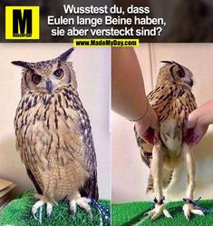 Fun fact: owls have long legs. they're just - iFunny :) Funny Animal Memes, Funny Animal Videos, Funny Animals, Cute Animals, Owl Legs, Funny Tweets, Funny Memes, Jokes, Funny Owls