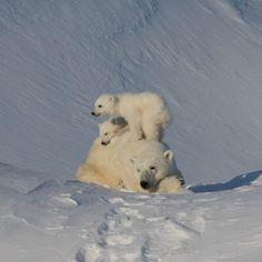 Polar Bear and Iceberg Photo Safari on Baffin Island | Arctic Kingdom Save The Polar Bears, Baby Polar Bears, Cute Polar Bear, Nature Animals, Animals And Pets, Wild Animals, Bear Photos, Mundo Animal, Tier Fotos