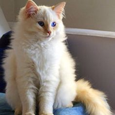 Ragdoll cat, my favorite :)