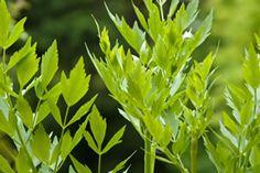 Liebstöckel (Maggikraut) - Anbau und Pflege