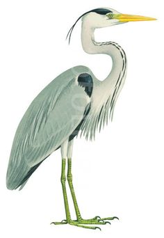 Image result for heron clipart