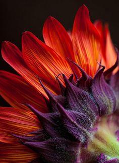 redish orange sunflower