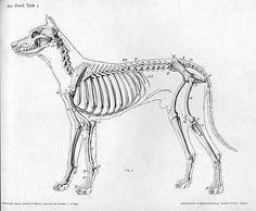 Dog anatomy lateral skeleton view — Animal anatomy references for artist. Dog Anatomy, Animal Anatomy, Anatomy Drawing, Skeleton Anatomy, Dog Skeleton, Anatomy Reference, Art Reference, Animal Skeletons, Dog Attack