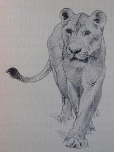 Carl Rungius, African Lioness Drawing More