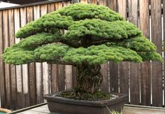 388 year old bonsai that survived the atomic bombing of Hiroshima. In 1976, it was given to the United States as a gift as reconciliation.