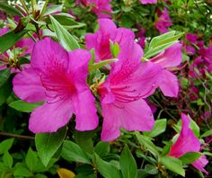 Judge Solomon, my favorite azalea