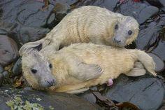Nacen raros gemelos de foca gris en las islas Farne - Experts' joy at birth of first Farne Island twin seals