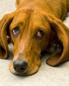 Olhar de culpa de cachorros é imaginação dos donos http://farofinopet.blogspot.com.br/2013/06/olhar-de-culpa-de-cachorros-e.html
