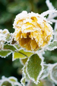 last blooms of Rosa