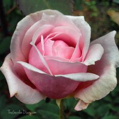 Pale Pink Roses, like our Grandmother's pink rose. from when we were growing up.