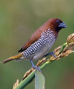 Scaly-breasted Munia or Nutmeg Mannikin (Lonchura punctulata). A sparrow-sized finch native to tropical Asia. photo: Harish Hegde.