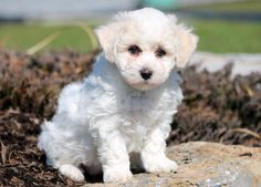 Flower | Health Guaranteed | Keystone Puppies    #bichon #frise  #keystonepuppies Bichon Puppies For Sale, Bichon Frise, Health, Dogs, Flowers, Animals, Animales, Health Care, Animaux