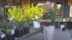 www.Sollecito.com Landscaping Design Ideas - How To Add Color To Your Landscape Show-Off Starlet Forsythia Landscaping ideas & tips from Sollecito Landscaping Nursery, a Syracuse, NY landscaping nursery. To get advice from a Senior NYS Certified Landscaping Professional on how you can design & create sustainable and affordable landscapes visit http://sollecito.com. #LandscapingDesigns #LandscapeNursery #LandscapeIdeas