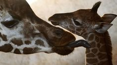 Rothschild giraffes... Don't you hate it when your mom uses spit to wipe off your neck?!