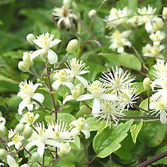 Clematis Vitalba (Tuinplanten - Klimplanten)