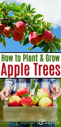 How to Plant & Care for an Apple Tree - Saving Dollars & Sen.- How to Plant & Care for an Apple Tree – Saving Dollars & Sense How to Grow Apple Trees Planting Apple Trees, Growing Apple Trees, Fruit Tree Garden, Garden Trees, Trees To Plant, Garden Plants, Apple Garden, Backyard Plants, Herb Garden