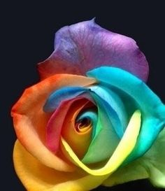 I want to incorporate three tattoos into one with the rainbow. I want a phoenix, and a triquetra with a heart in it, and a rose with ani ledodi vedodi li written on it.  I picked this rose because I can almost see a bit of a triquetra look to the petals, and was wondering if there is a way to make a triquetra with heart made out of petals in a rose.