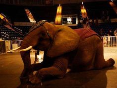Save Nosey Now   The African Circus Elephant if ever an elephant needed saving, it is Nosey. Please read her story.