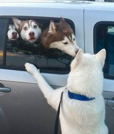 """2,440 Likes, 28 Comments - @features4huskies on Instagram: """"I make that same face when I get stuck in the middle back seat #struggles #saveme photo via…"""""""