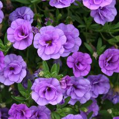 Million Bells Superbells - Double Calibrachoa Abundant, small double petunia-like flowers all season on cascading growth; Purple Plants, Purple Garden, Purple Perennials, Sun Perennials, Outdoor Plants, Garden Plants, Potted Plants, Landscape Design, Garden Design