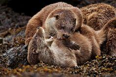 Les loutres font leur grand retour dans les rivières anglaises - National Geographic France
