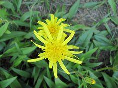 Hadí mord nízký (Scorzonera humilis, synonymum – Scorzonera plantaginea Gaudin) je vytrvalá bylina řadící se do čeledi hvězdnicovité.