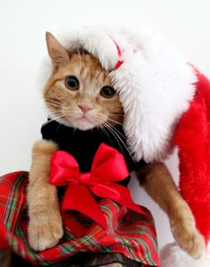 Cute Christmas Kitty For more Christmas Cats, visit https://www.facebook.com/funholidaycats