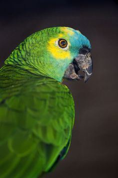 Parrot in the Platti Zoo | by Tambako the Jaguar
