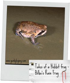 This super cute frog only found in two tiny locations in southern Africa is our featured frog for B in our 365 nature days series. Named after Bilbo Baggins from the Hobbit, it truly is a remarkably different little critter!