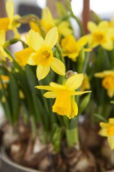 Gule Narciss gir påskestemning