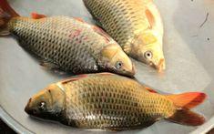 FOTO Arhiva Fish, Ichthys