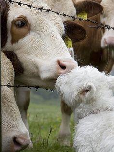 Terrier kissing a cow friend, Austria