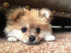 Simba the Pomeranian