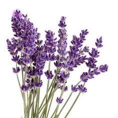 lavender clipart free google search lavender pinterest rh pinterest com lavender clipart free lavender clipart flowers