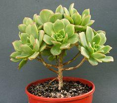 20 Aeonium haworthii seeds Rare Cactus Succulent Plant by Seedsplace on Etsy https://www.etsy.com/listing/206461391/20-aeonium-haworthii-seeds-rare-cactus