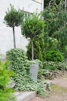 Oliivipuun hoito | Meillä kotona