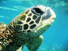 Hawaii Animal Spirit Guides, Spirit Animal, Turtle Love, Water Life, Tortoises, Under The Sea, Photo Galleries, Pets, Sea Turtles