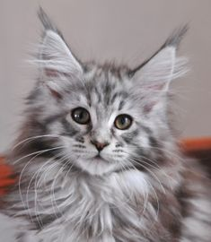 Silver Torbie Maine Coon cat